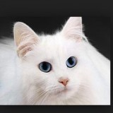 White_Cat_Face