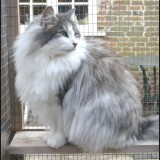 Grey_and_White_cat
